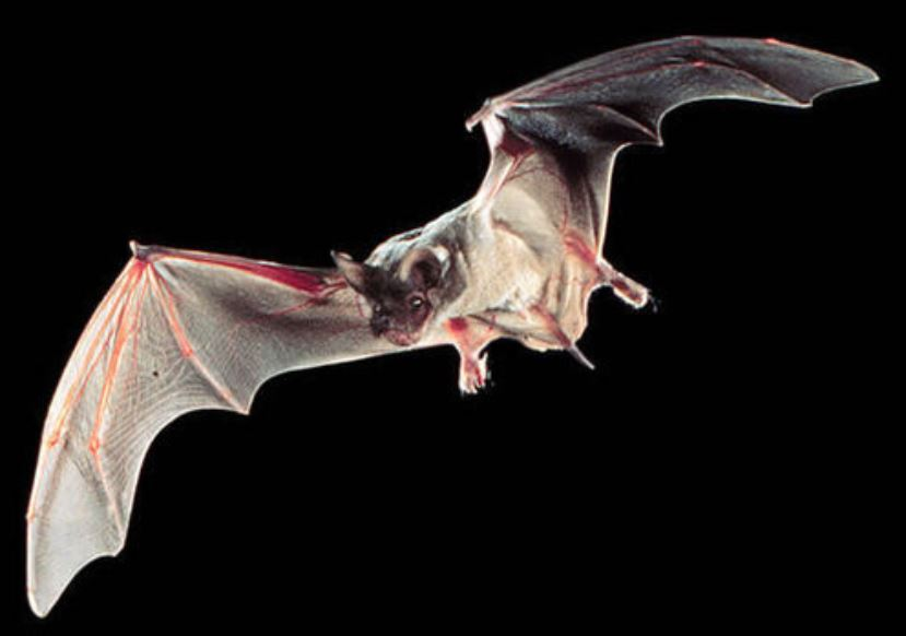 adult Mexican free-tailed bat.JPG