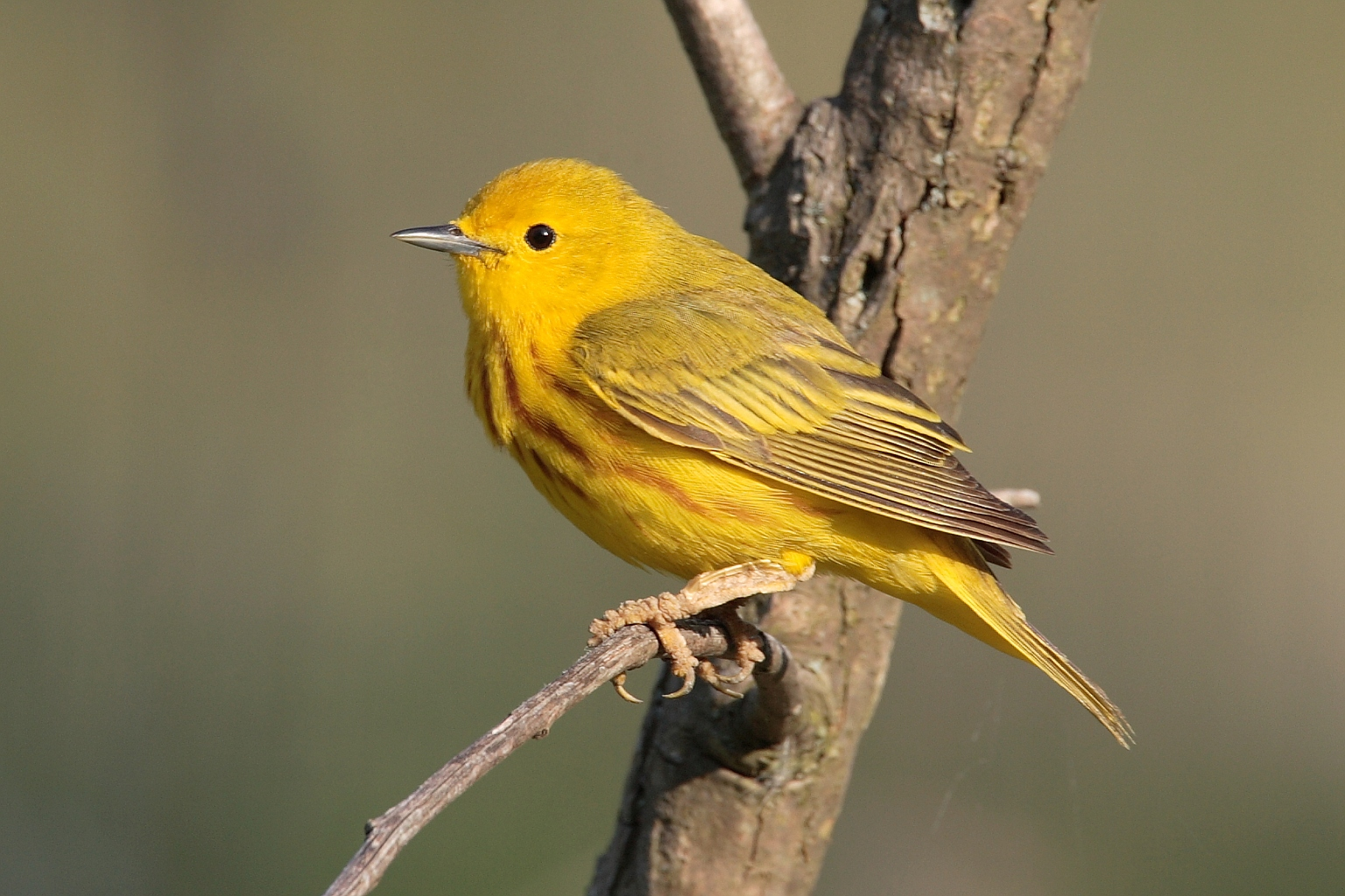 Dendroica-aestiva-001 yellow warbler.jpg