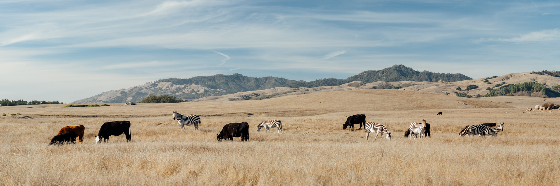 California Pastures ||  Panoramic stitch of zebras and cows in their natural habitat near Hearst Castle along Highway 1. ©Merima Helic