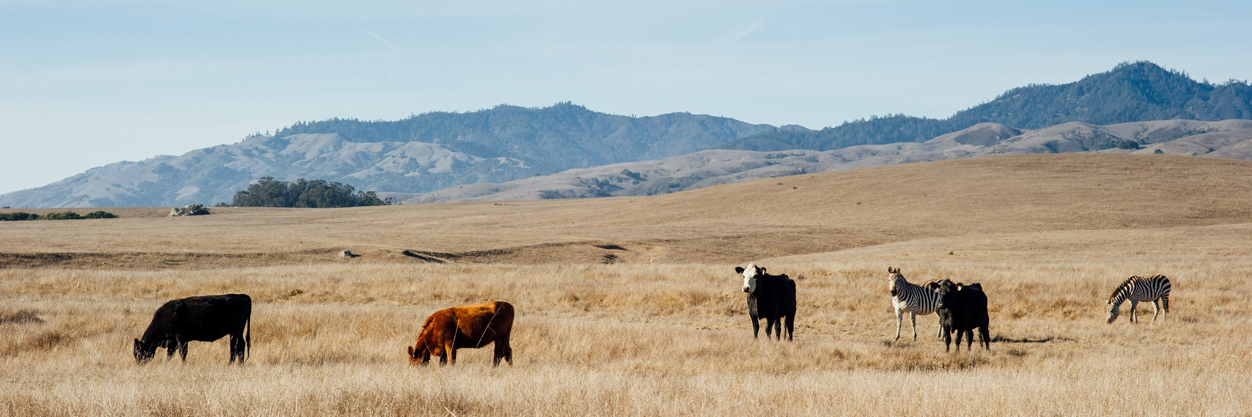 Cow Posse  || Panoramic stitch.