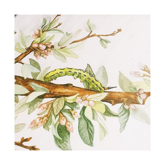 Inching towards Spring | Flowing forth upon the branch of a California Desert Peach is a fluorescent green caterpillar of the White Lined Hummingbird Moth | Painting in process by artist Justina Freel with earth mineral natural pigment watercolor | #amazing #art #artistsoninstagram #artist #arte #artwork #beauty #beautiful #botanical #botanicalart #california #californianative #californianativeplants #contemporaryart #design #designer #flowers #fineart #garden #gallery #home #homedecor #interiordesign #indigenous #nature #naturelovers #painting #paint #spring #watercolor