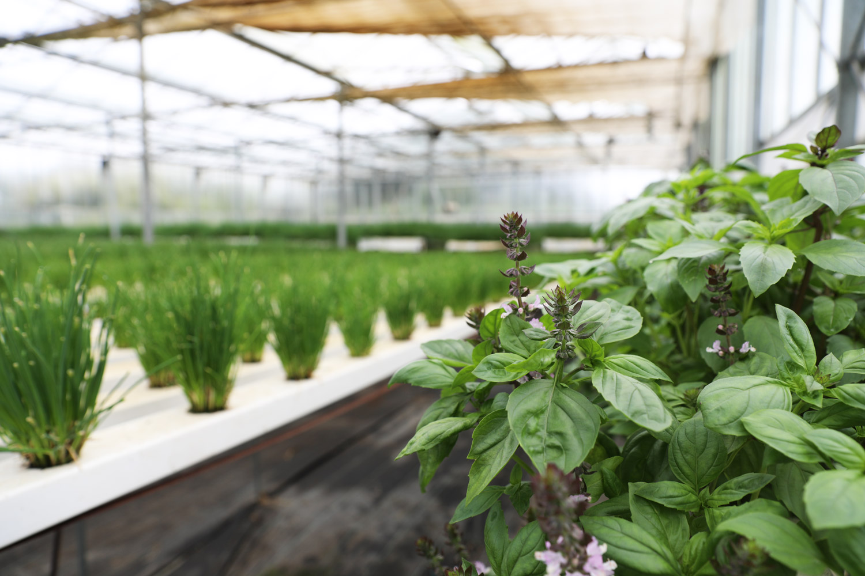 Scarborough-Fare-Herbs-7.jpg