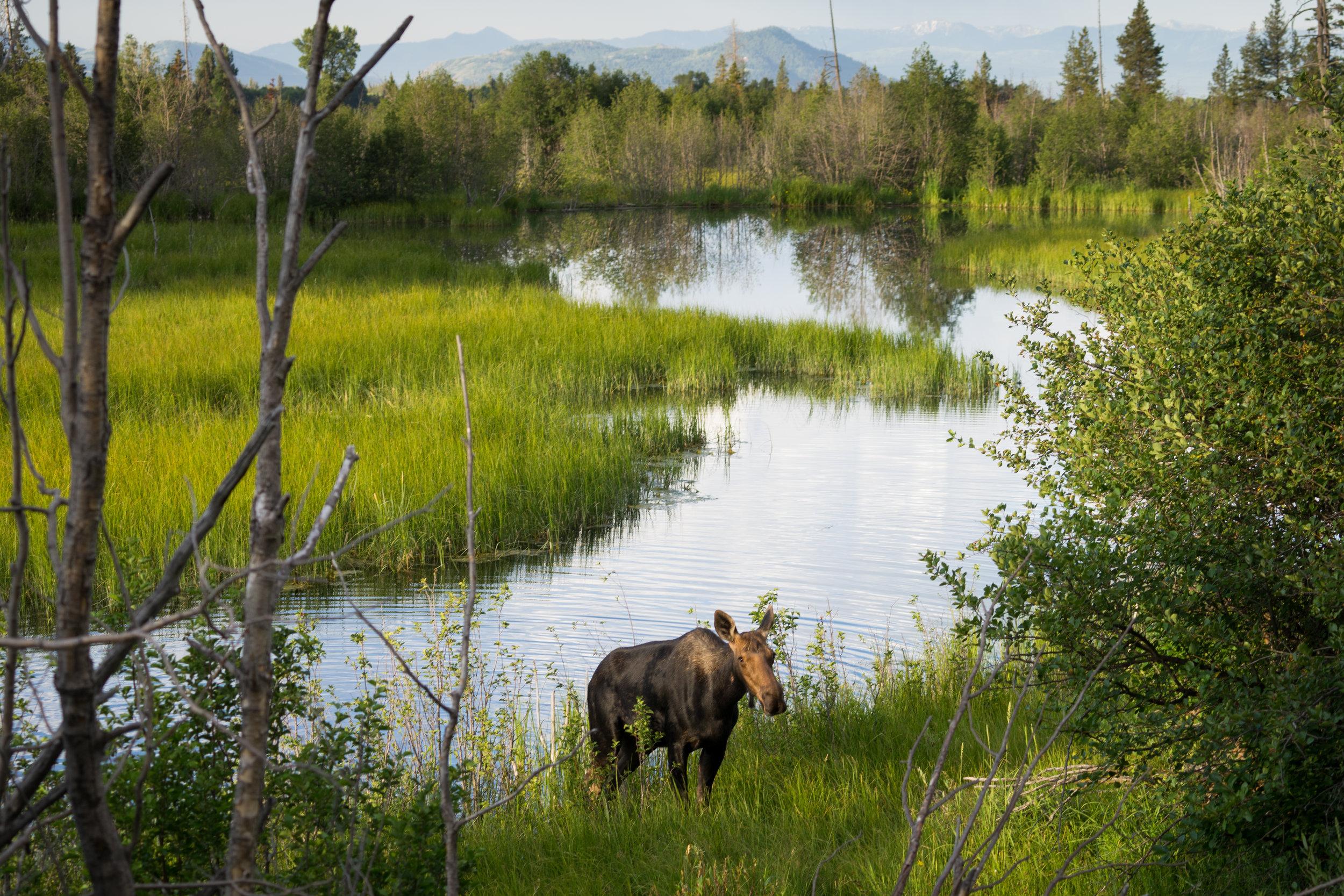 Moose near Moose, WY