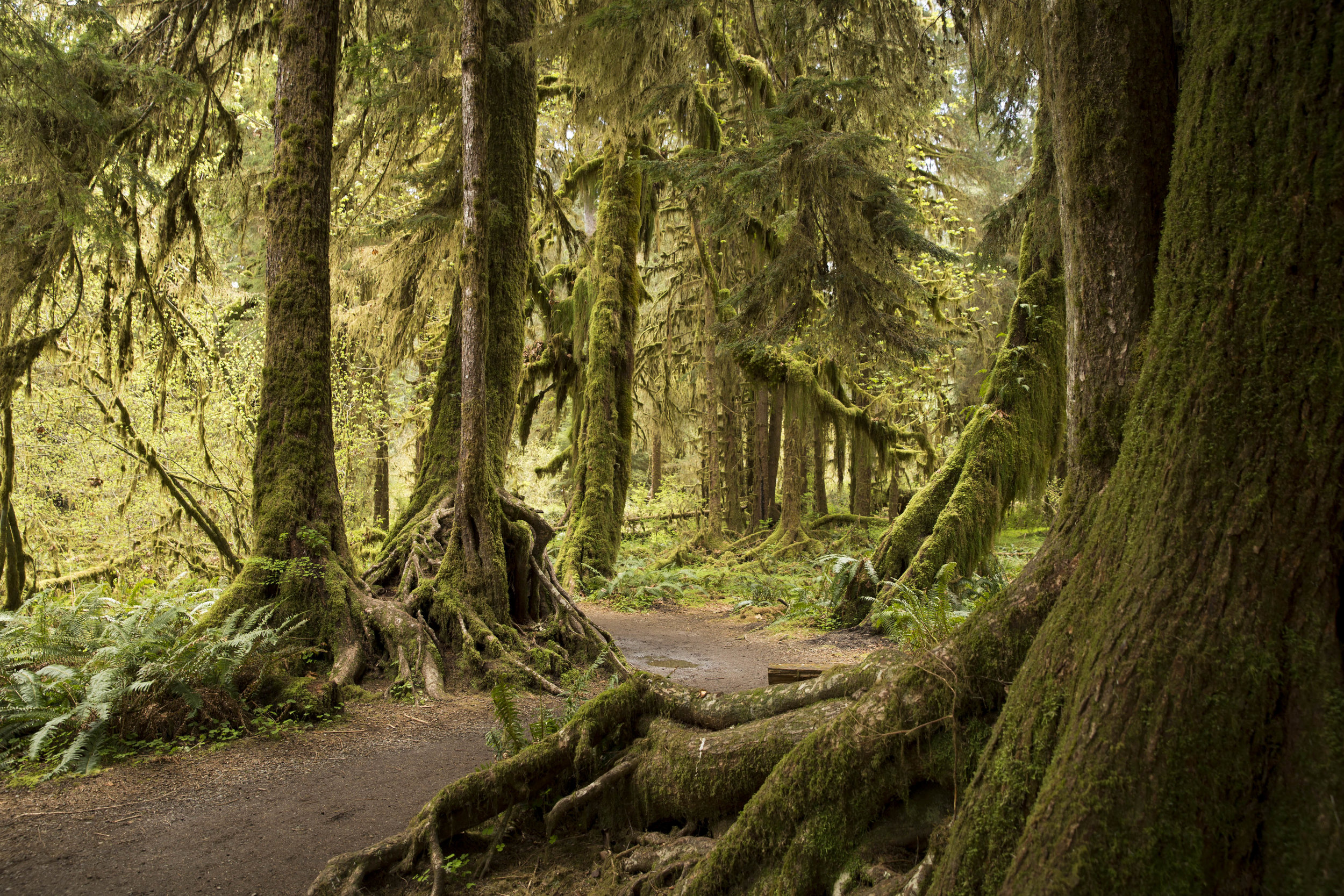 Hoh Rainforest River Trail