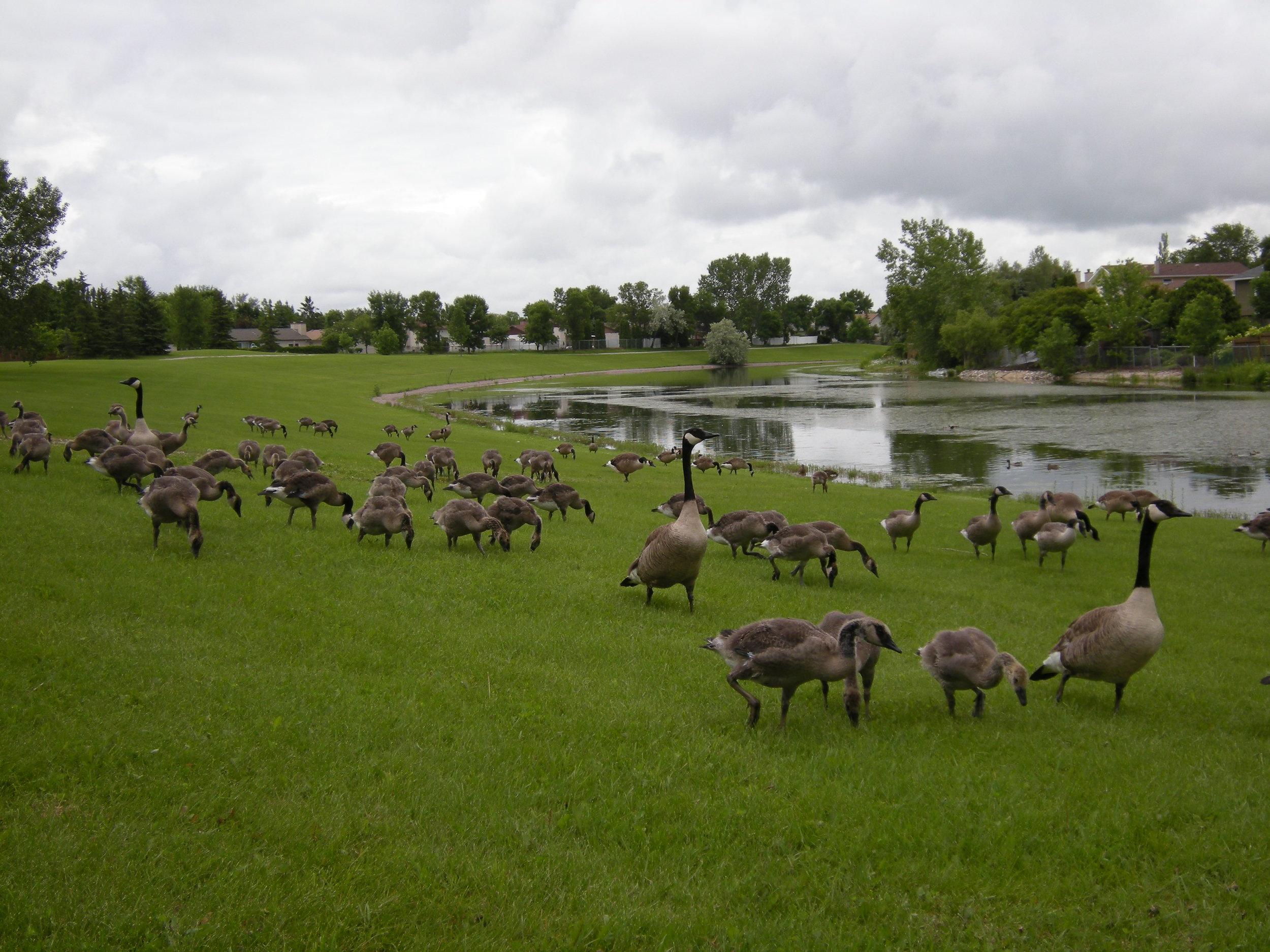 geese3.jpg