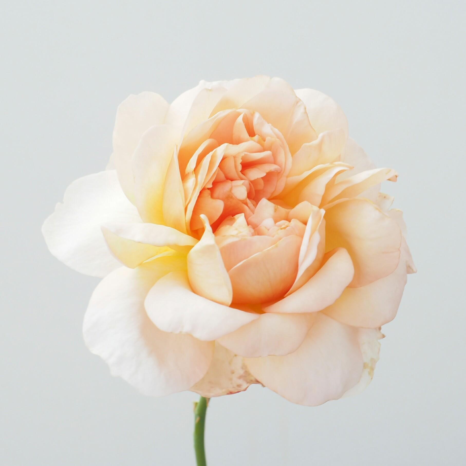Rose 'Joie de Vivre'
