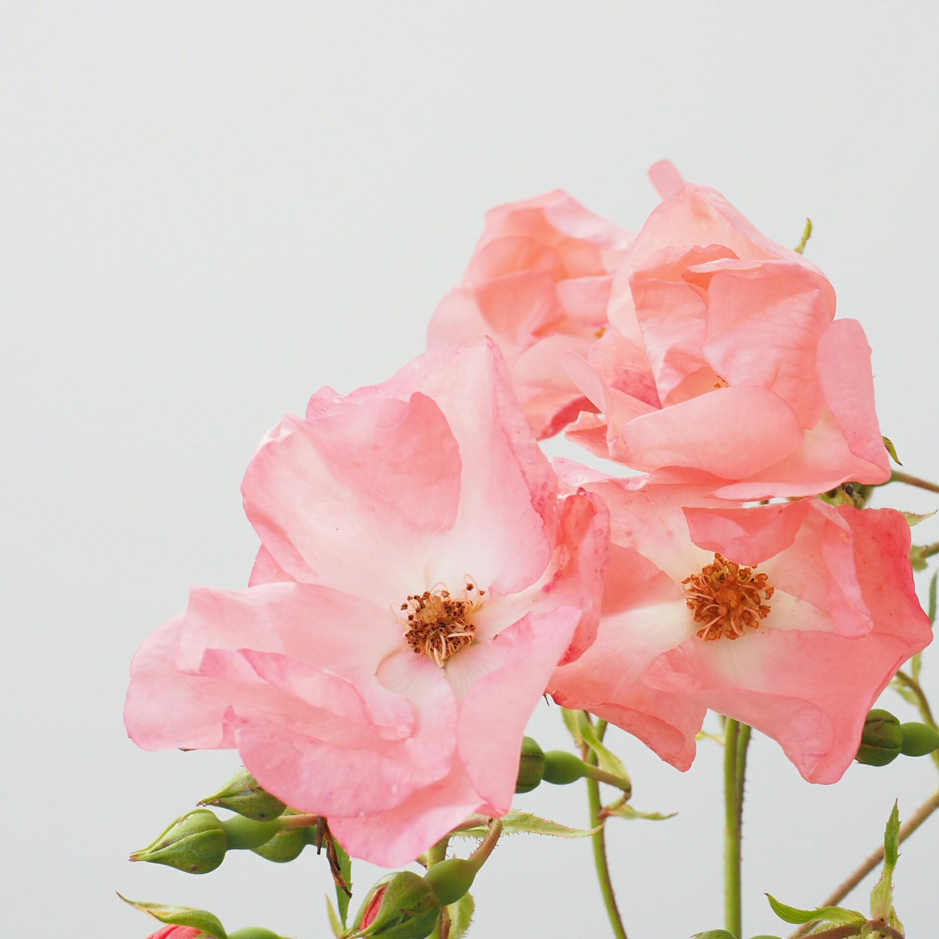 Rose 'Coral Carpet'