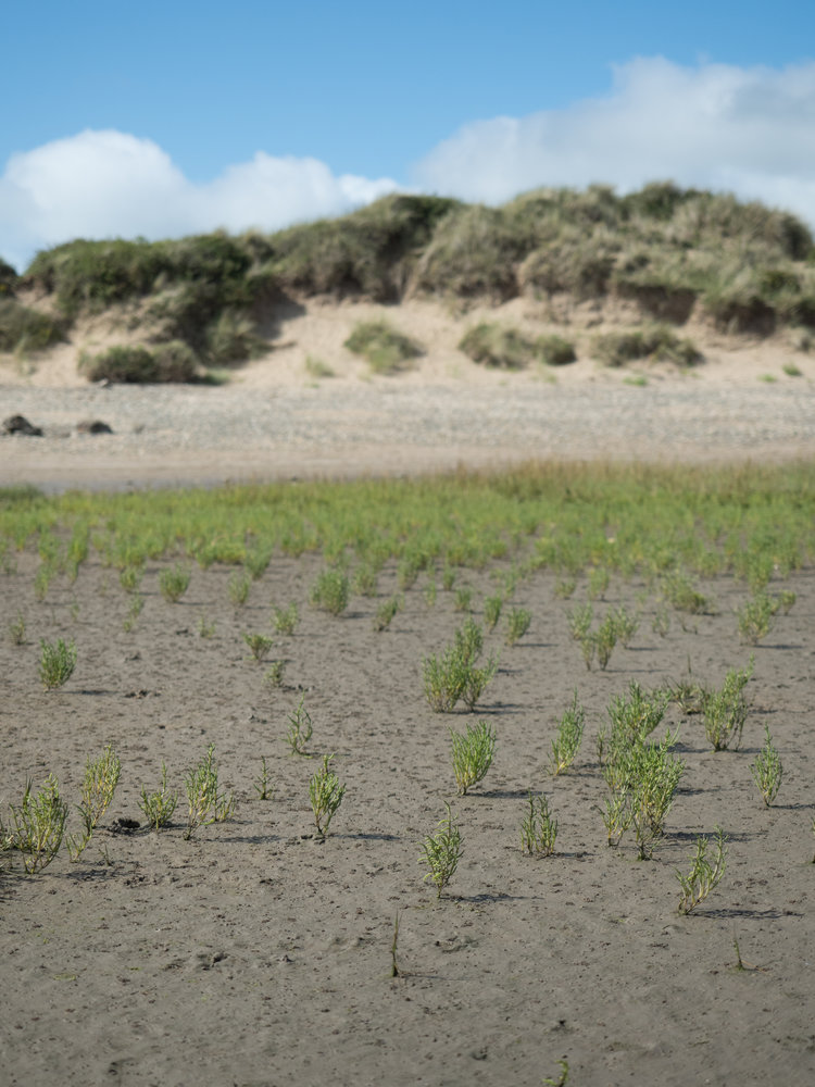 Samphire Growing in the Salt Marsh