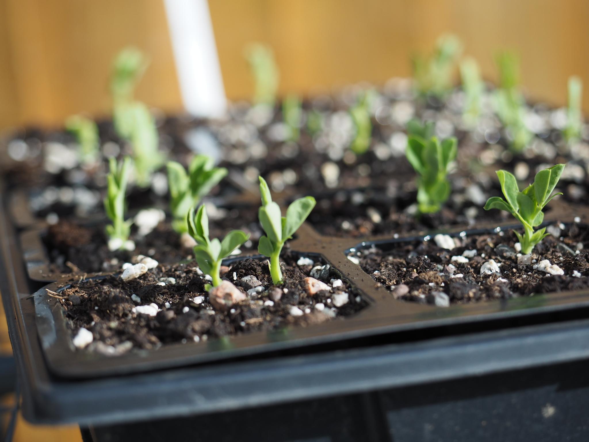 Pea seedlings emerging in the sunshine