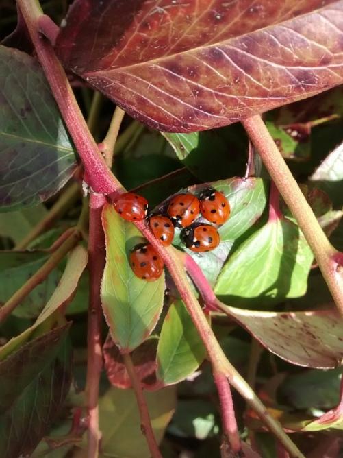 lady bugs.jpg