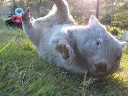 Wombat.jpeg