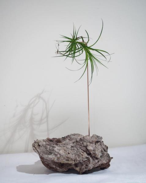 Bloodwood Botanica | floating air plant sculpture