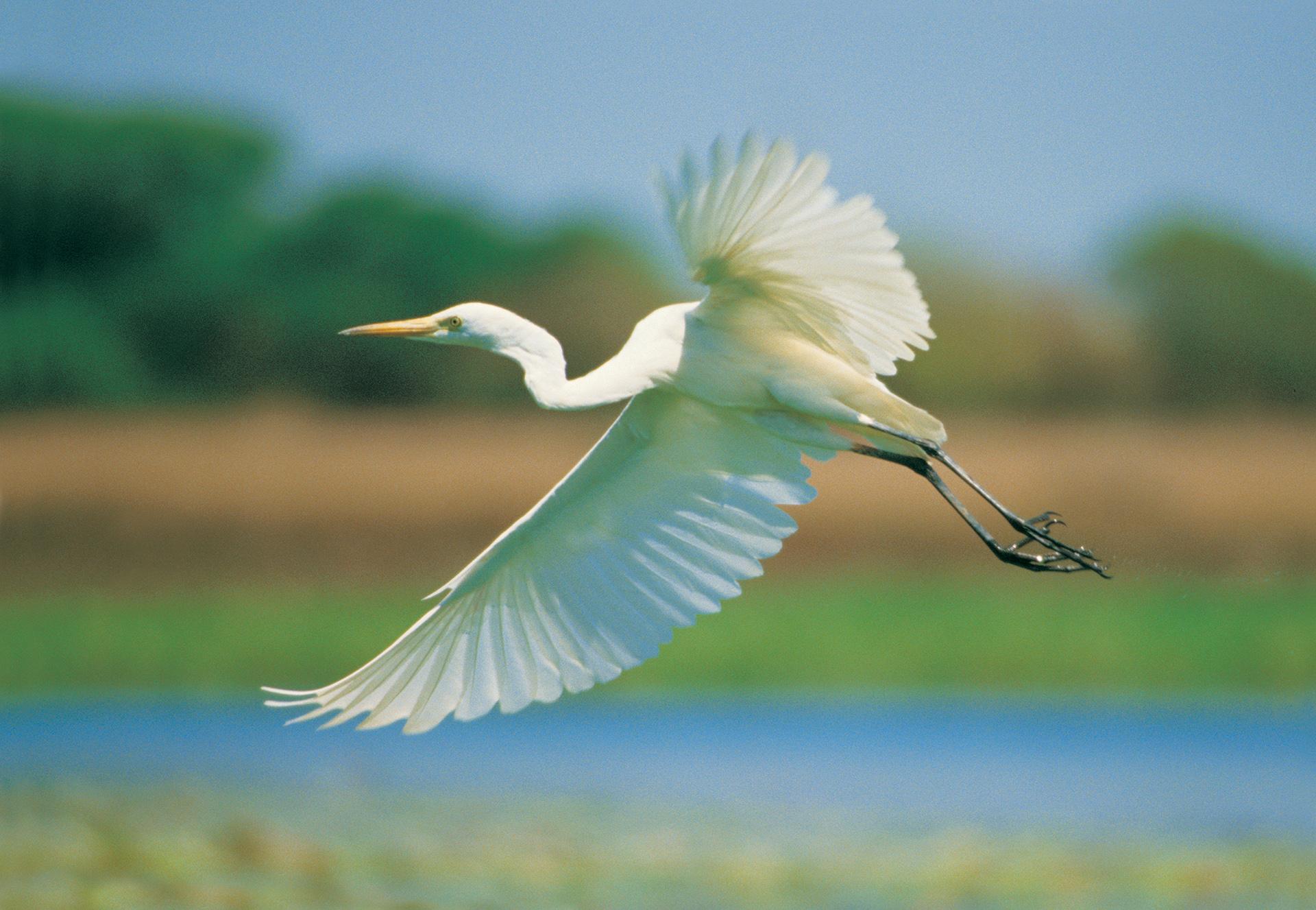 Egret in flight over Yellow Water Billabong, Kakadu, Northern Territory