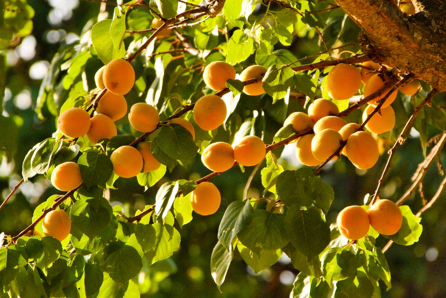 Apricots enjoying the warmth of the afternoon sun.