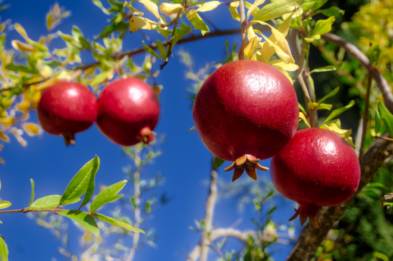Ruby red pomegranates basking in the sun.