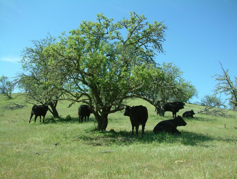 Cows enjoying an idyllic afternoon under the shade.