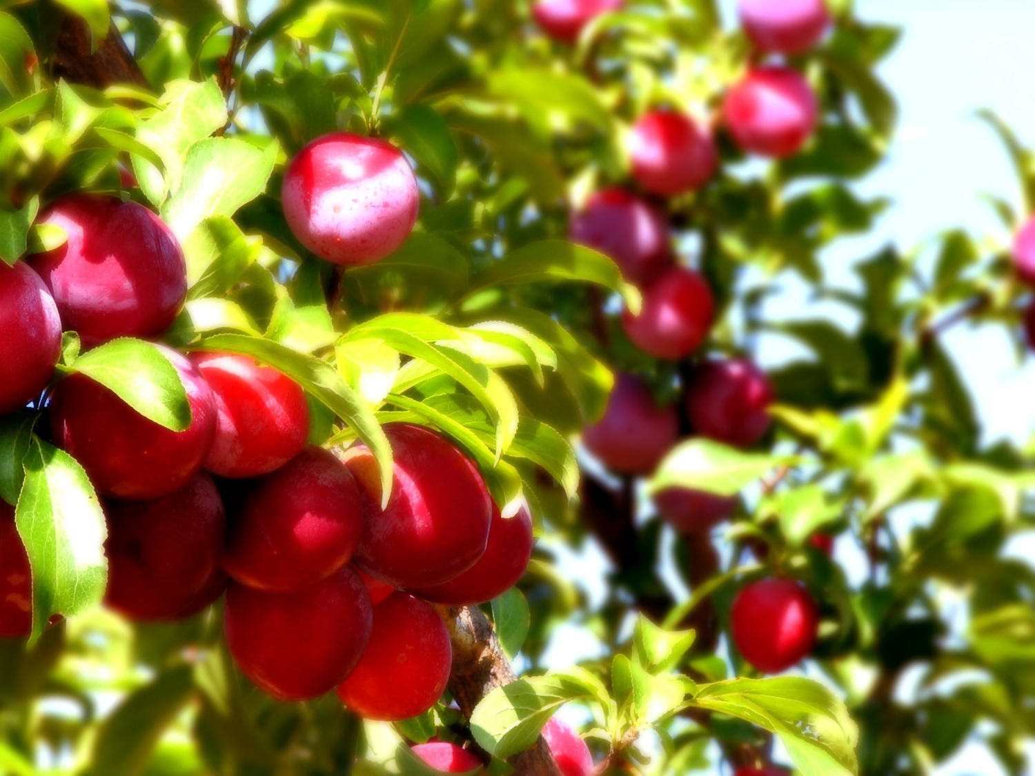 Santa Rosa plums are a special variety of plums that we grow. They're a real treat in the summer.