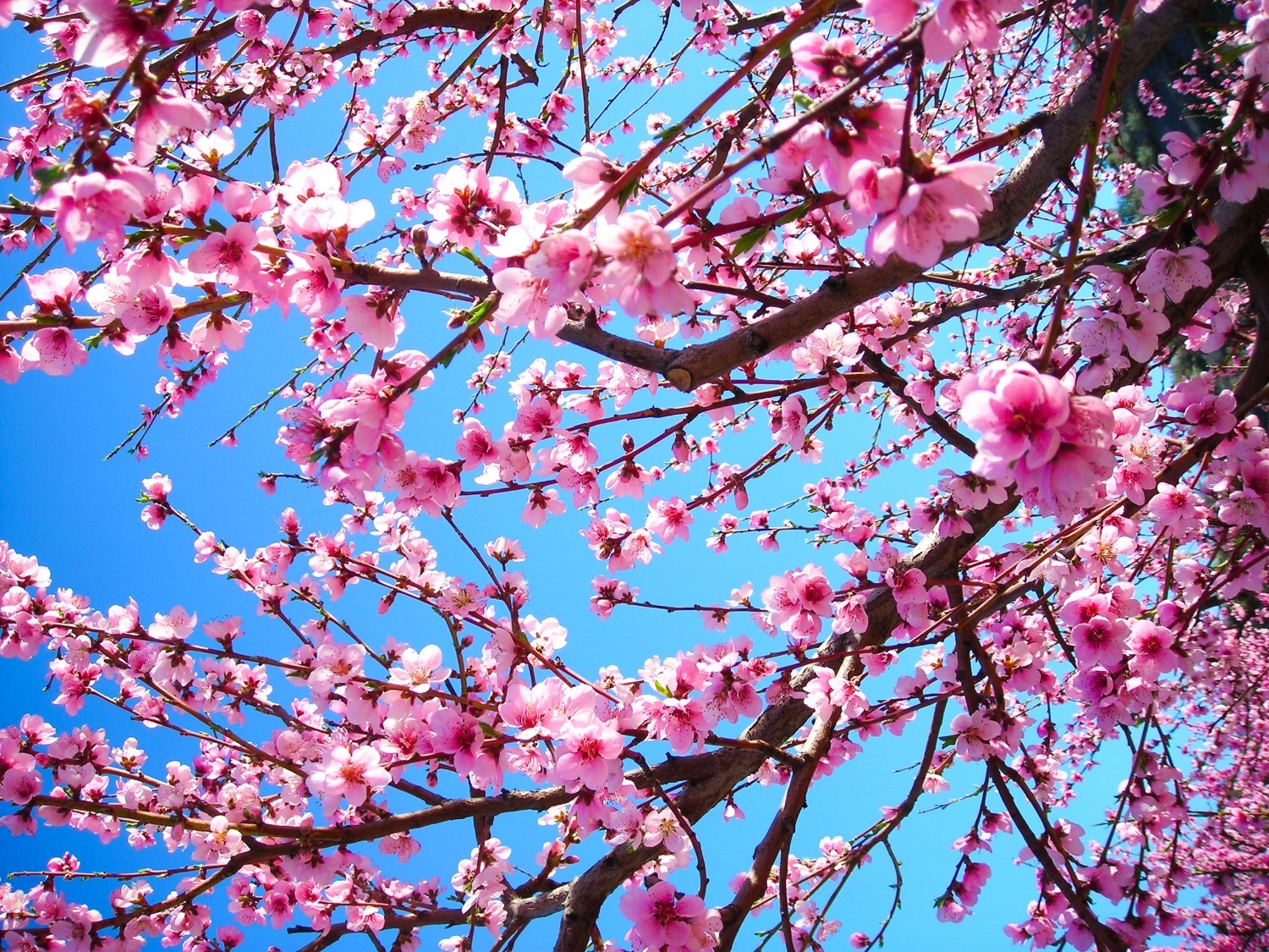 Peach blossoms in spring.