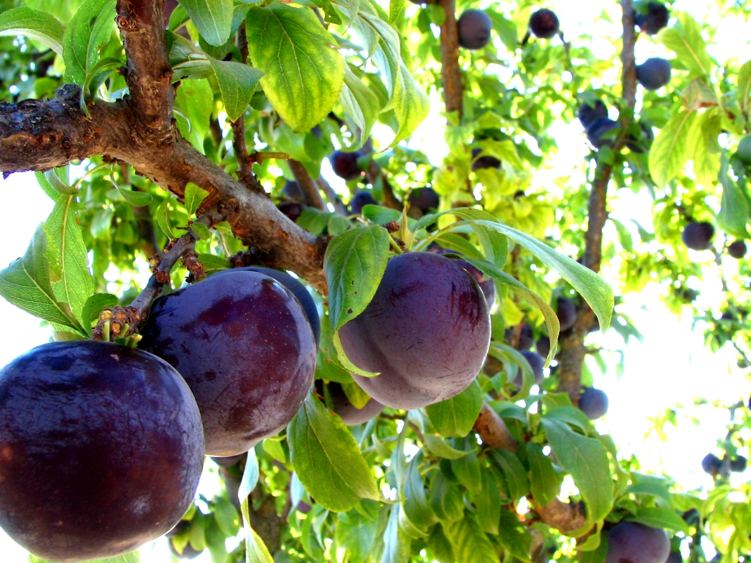 Black plums ready for harvest.