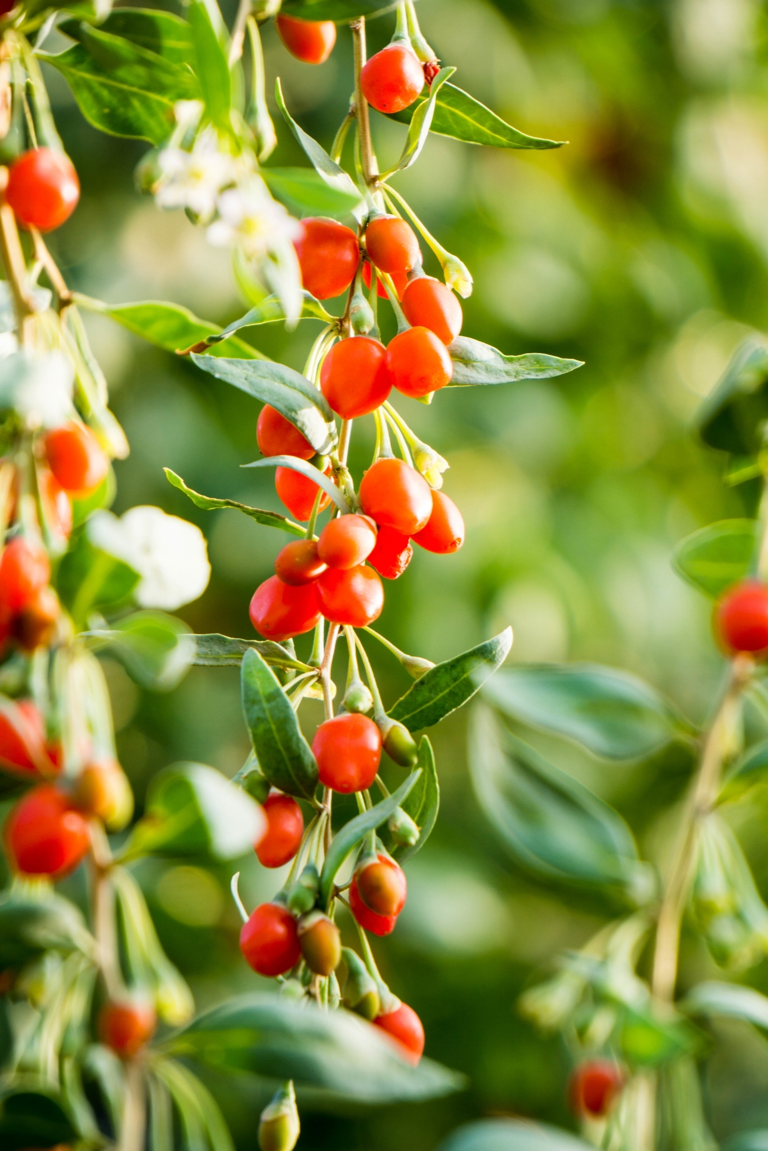 Goji berries, these aren't just pretty, they're pretty good for you too.