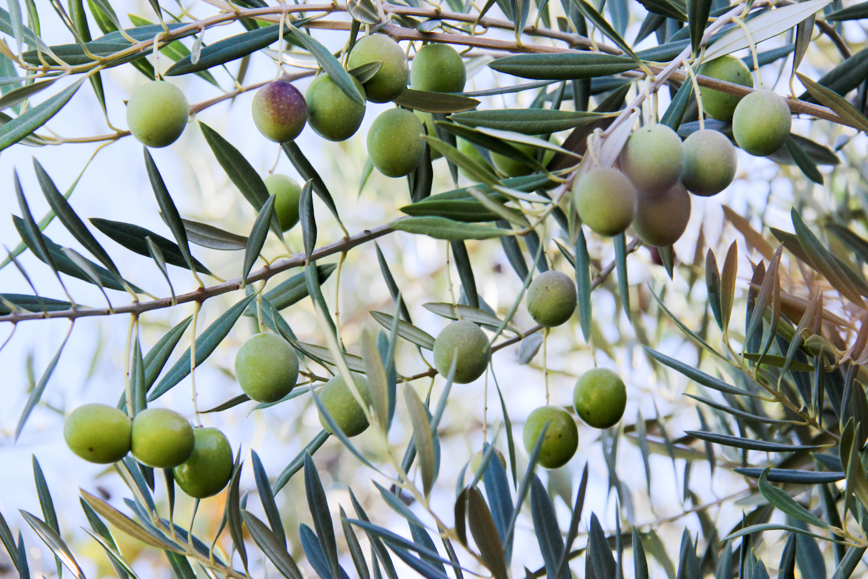 Olive161026-012h.jpg