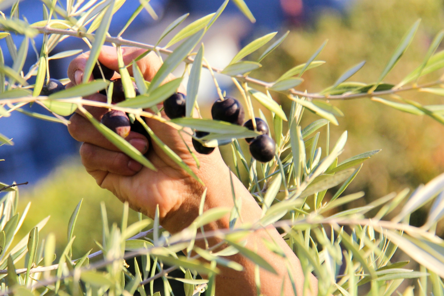 Yes, we pick all our olives by hand to ensure good quality olives and olive oil.