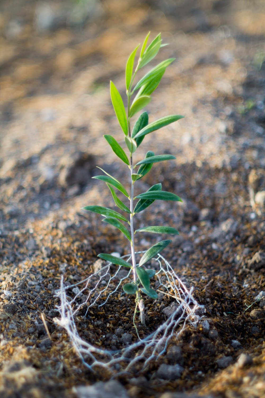 An olive sapling.
