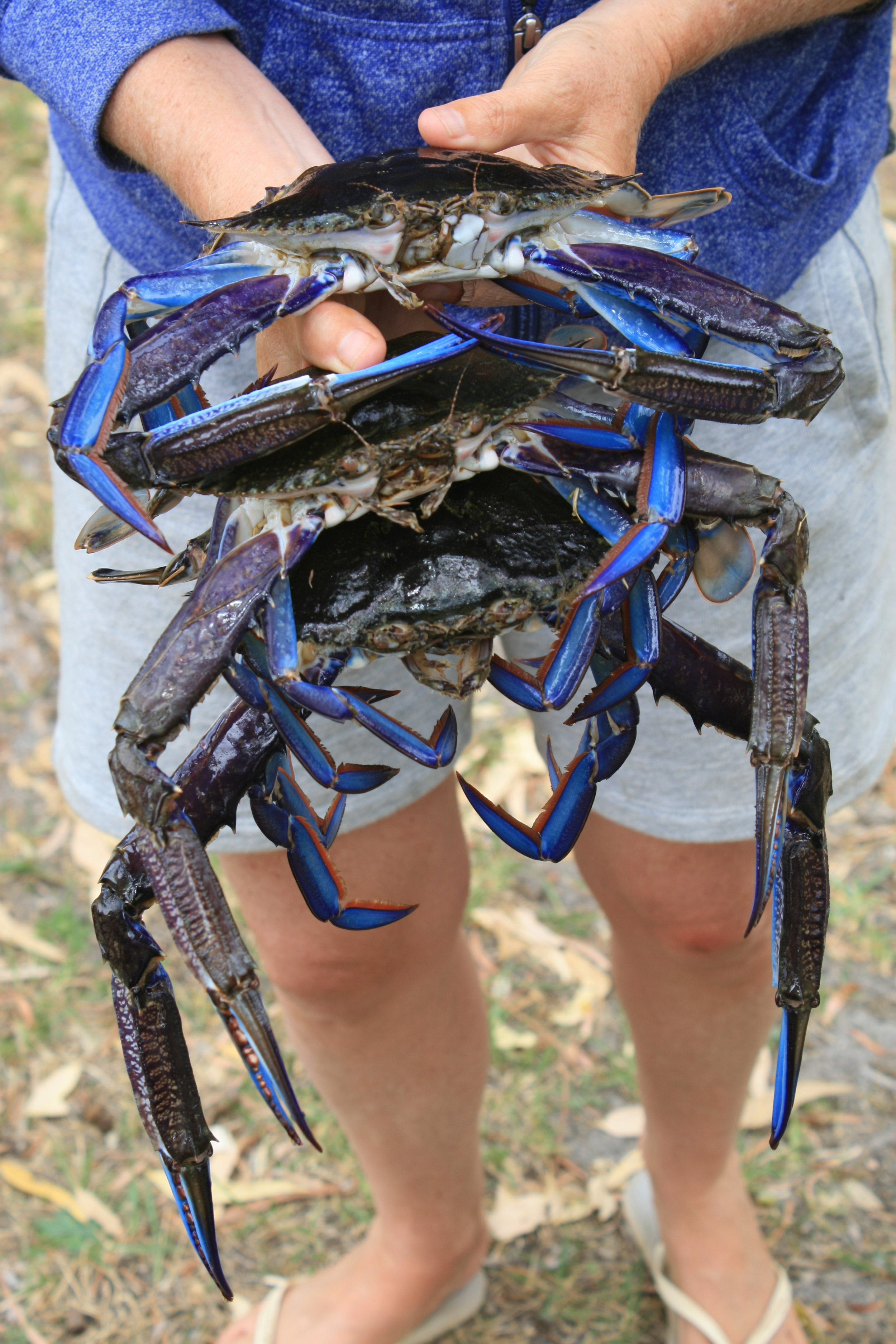 p146 Blue crabs.jpg