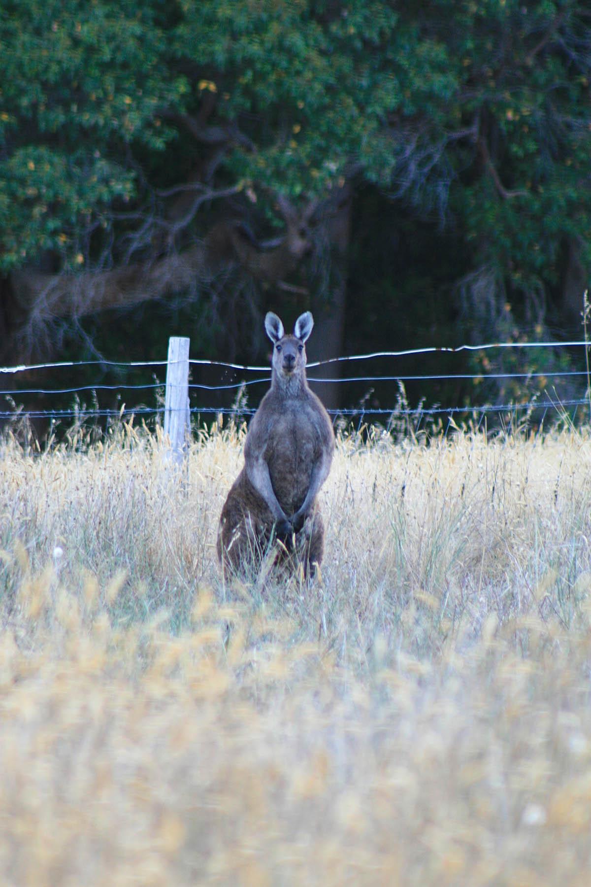 Kangaroo_resized.jpg