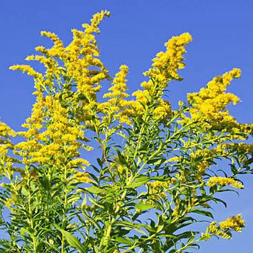 This is goldenrod. It is beautiful, colorful and not responsible for seasonal allergies. Ragweed on the other hand...