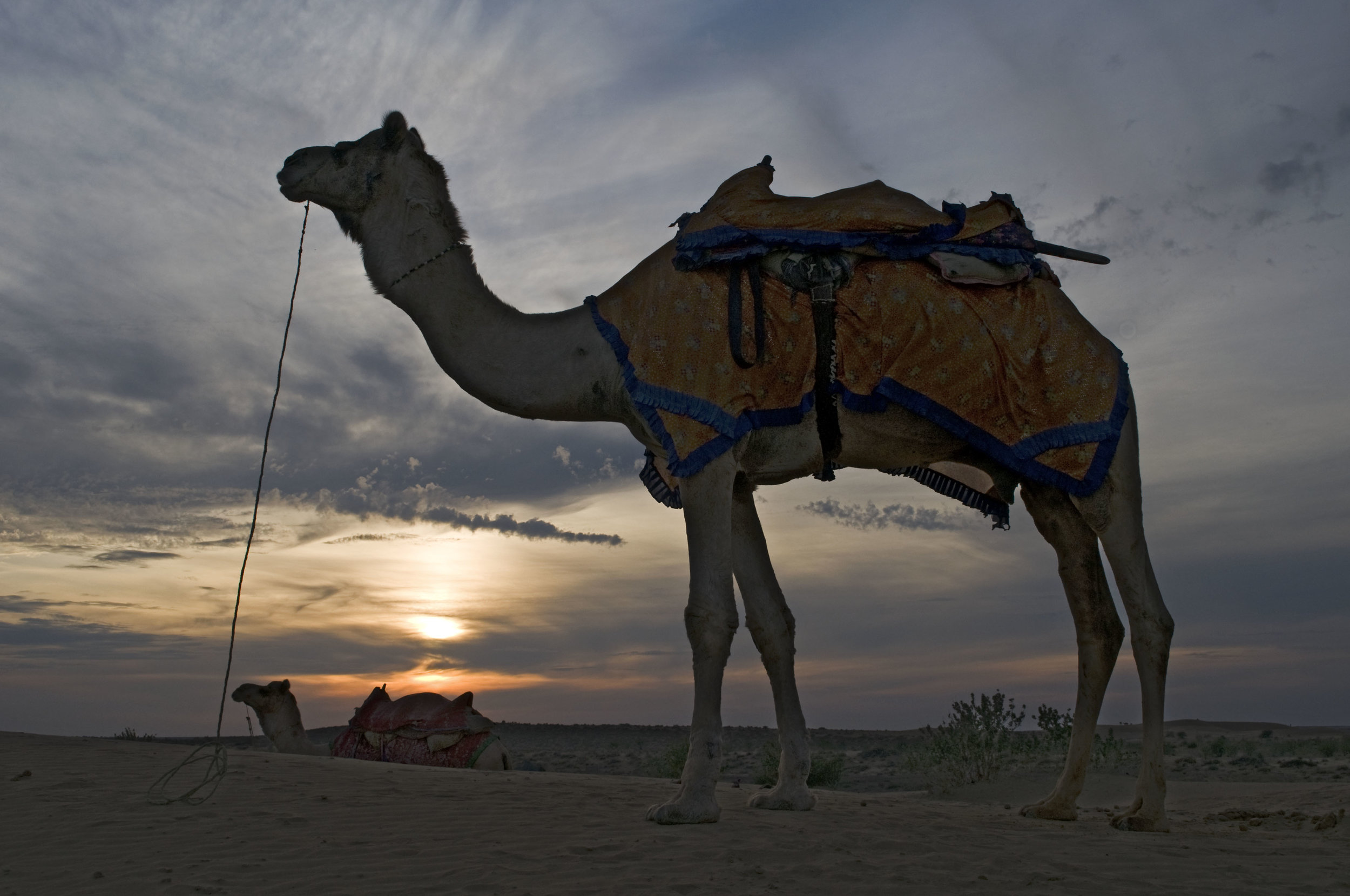 Camel - Rajasthan (Australian escorted tours to India)