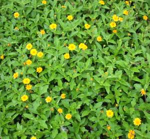 Singapore daisy Spagneticola trilobata.jpg