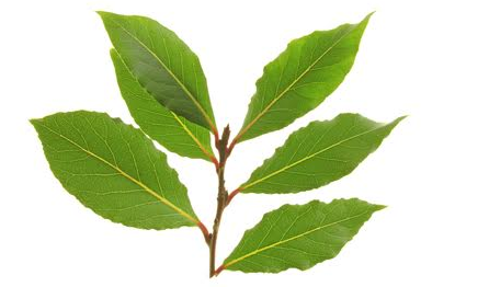 WEST INDIANBAY LEAF - September 6TH 2017 - By Naphtaly Maria ZimmermanORIGINSA small medium-sized tree, bay grows wild in the West Indies and Venezuela, where it is also cultivated. It is a sturdy evergreen shrub and tree family of the Myrtle family.MOST COMMON USESGood general tonicGood for the hairHelps to reduce feverHelp relieve muscle cramps and achesBeneficial in improving appetiteStrong pulmonary antisepticGood for colds, influenza and bronchitisUsed to season stews, vegetables, picklesUsed in perfumery, also to aromatise Bay rum and other toiletriesUplifts people who tend to be depressive or to lack staminaESSENTIAL OILSteam distillation of the leaves produces an oil that varies in colour from yellow to dark brown. It's warm, pungent, spicy, medicinal, herbaceous aroma, fruity smell.CAUTIONBay oil has a high eugenol content and may irritate the skin and mucus membranes, AVOID DURING PREGNANCY.