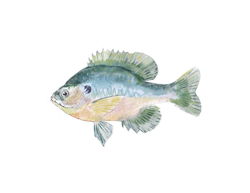 Walleye_Sunfish.jpg