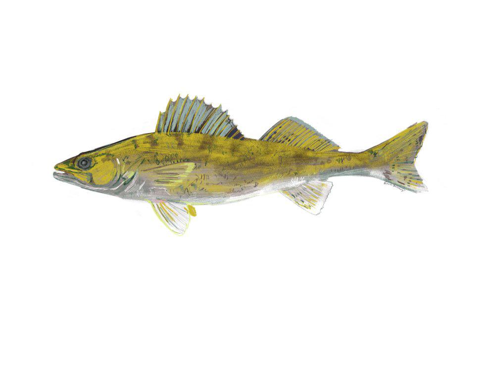 Walleye_Sunfish+2.jpg