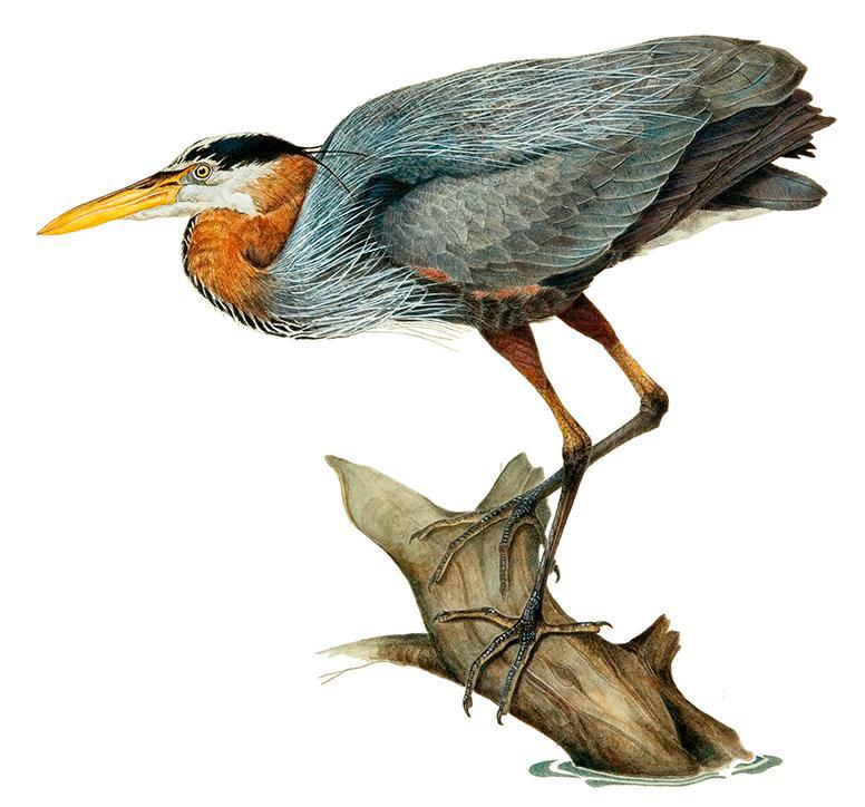 John P. Soward,  Great Blue Heron