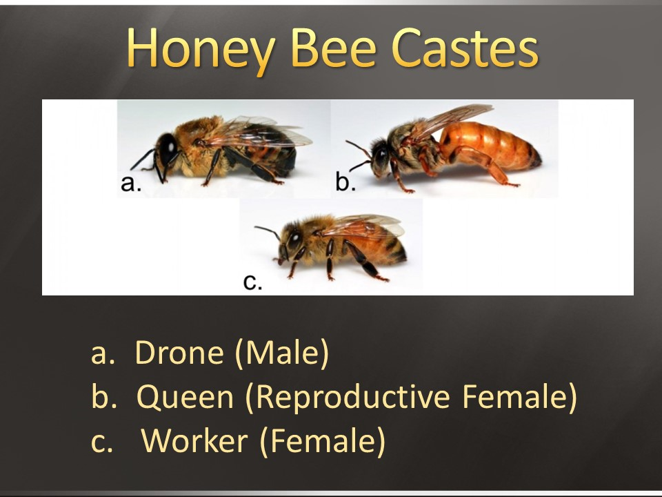 Image result for bee castes