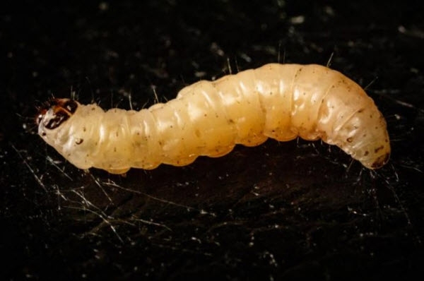 The Navel Orangeworm Caterpillar Works with a Fungus to Overcome Plant Chemical Defenses, a New Study Finds. Photo By: L. Brian Stauffer
