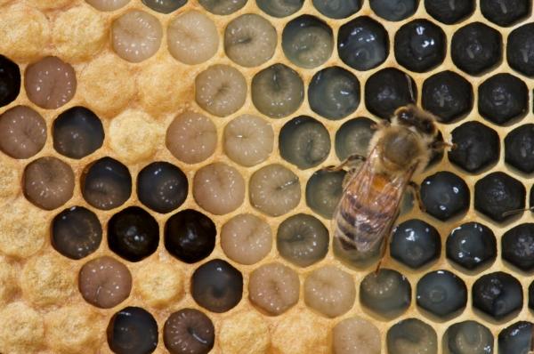 honey bee larvae in various stages of development. (photo: kodua galieti)