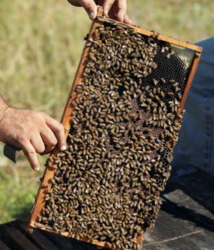 bees in a hive. credit: chris o'meara, ap