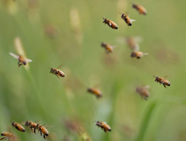 It isn't clear if colony collapse syndrome is a huge problem or hype: Meanwhile, here are some bees flying around. credit: bloomberg