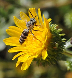 The Great Valley gumplant (Grindelia camporum) was one of the 43 plants tested. Here a cukoo bee Triepelous Epeolus, forages on a blossom. (Photo by Kathy Keatley Garvey)