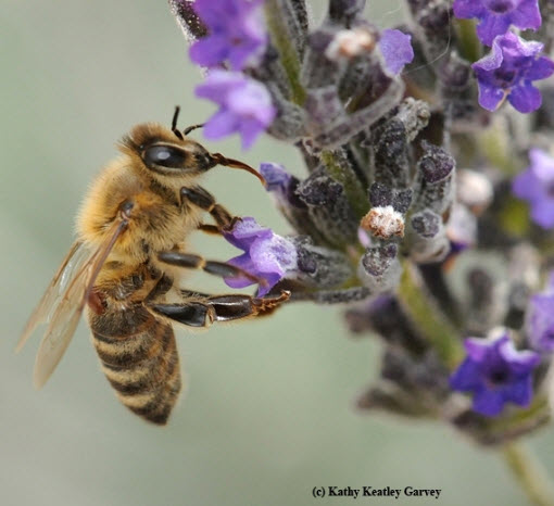 A Varroa mite on a honey bee—not something beekeepers want to see on their bees! (Photo by Kathy Keatley Garvey)