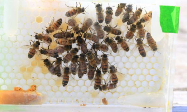 Researchers at the Carl R. Woese Institute for Genomic Biology at the University of Illinois used specially developed 3D-printed plastic honey combs that mimic the hive environment, in order to monitor queen egg-laying behaviors. Credit: Bee Research Facility, University of Illinois