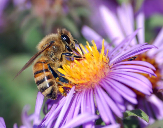 European honey bee extracts nectar from an Aster flower (Credit: John Severns/ Wikimedia Commons/Public Domain)
