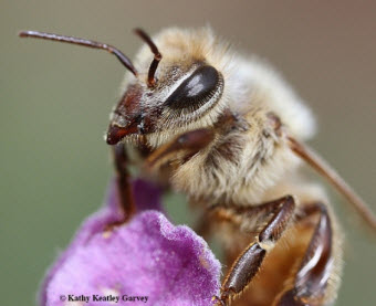 Honey bee, Apis mellifera. (Photo by Kathy Keatley Garvey)