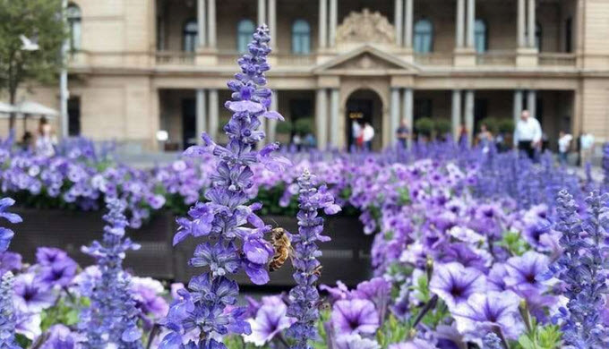 Insects in the city: a honeybee forages in the heart of Sydney. Credit: Adrian Dyer/RMIT University