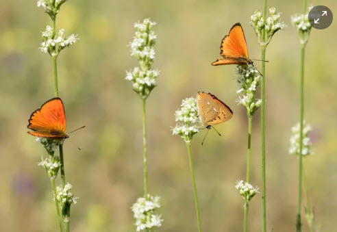 Scarce copper butterflies. Photograph: Marlene Finlayson/Alamy Stock Photo/Alamy