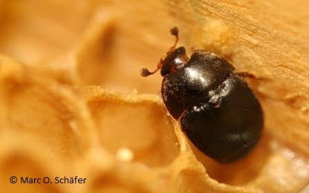 Small Hive Beetle (Credit: Marc O Schafer)