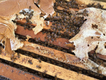 A healthy hive able to pollinate has at least eight frames mostly covered in bees on both sides. But the fear this year is that there will be many weaker hives put into California almond orchards for pollination because so many hives have died across the country.  Greta Mart/KCBX